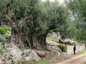 olive-tree-1500yrs