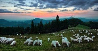 shepherd13